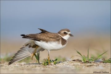 Semipalmated_Plover_3613-12