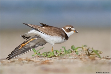 Semipalmated_Plover_3626-12