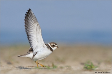 Semipalmated_Plover_3630-12