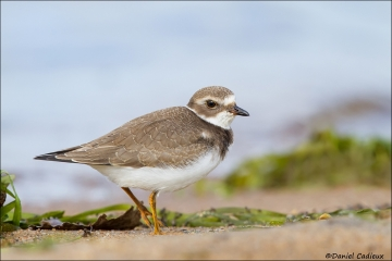 Semipalmated_Plover_4109-13