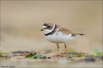 Semipalmated_Plover_4679-15