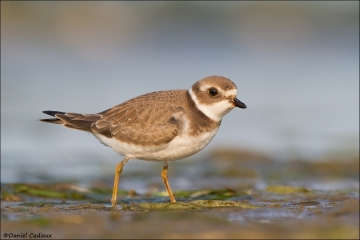Semipalmated_Plover_4899-12