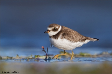 Semipalmated_Plover_6602-13