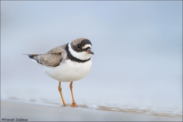 Semipalmated_Plover_8758-14