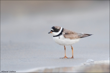 Semipalmated_Plover_8812-14