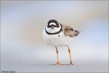 Semipalmated_Plover_8847-14