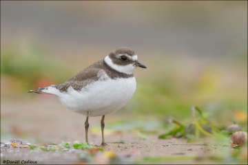 Semipalmated_Plover_9467-14