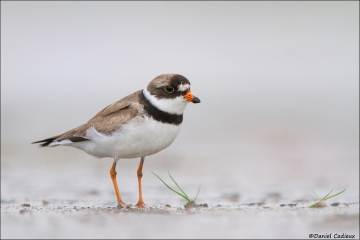 Semipalmated_Plover_9645-15