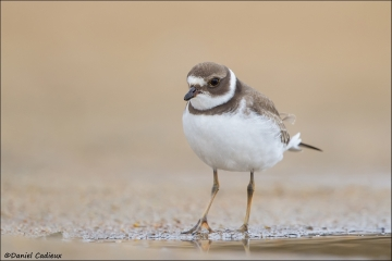 Semipalmated_Plover_9868-14