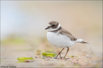Semipalmated_Plover_9905-14