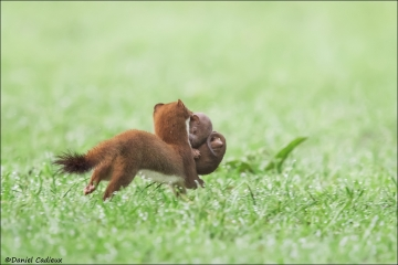 Short-tailed_Weasel_9265-17
