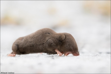 Northern Short-tailed Shrew_4236-18