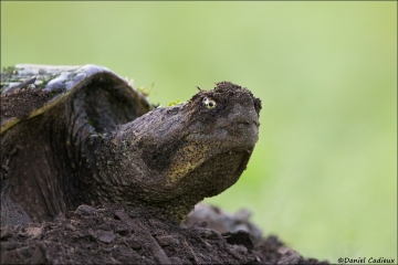 Snapping Turtle_3571-18