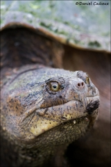Snapping_Turtle_5064-14