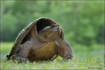Snapping_Turtle_9039-11