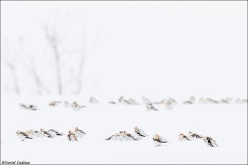 Snow_Bunting_2369-17