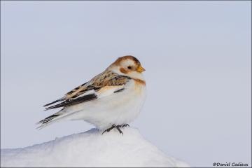 Snow_Bunting_5845-14