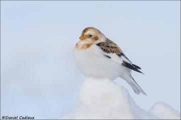 Snow_Bunting_5968-14