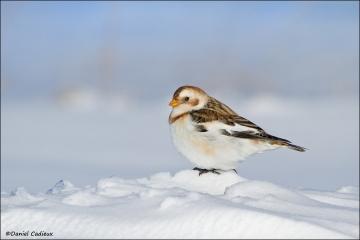 Snow_Bunting_9042-12