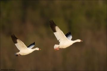 Snow Goose_8119-18