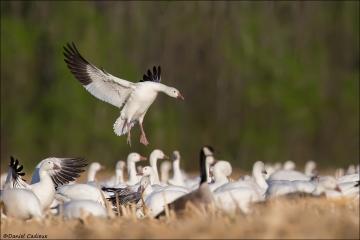 Snow Goose_9157-18