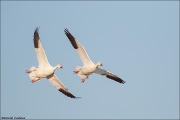 Snow Goose_9200-18