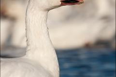 Snow_Goose_1725-10