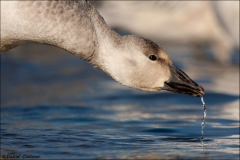 Snow_Goose_1763-10