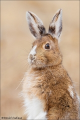 Snowshoe Hare_2368-18