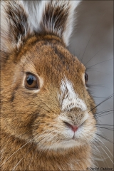 Snowshoe Hare_2407-18