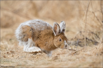 Snowshoe Hare_2447-18