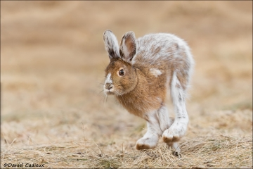 Snowshoe Hare_2456-18