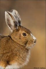 Snowshoe Hare_2495-18