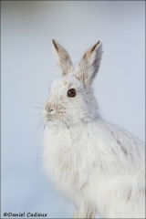 Snowshoe_Hare_8056-14