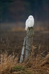 Snowy_Owl_1022-14