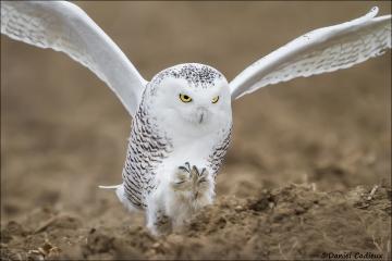Snowy_Owl_1438-15
