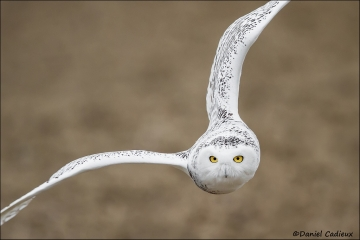 Snowy_Owl_1638-15