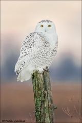 Snowy_Owl_1966-16