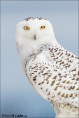 Snowy_Owl_2223-16
