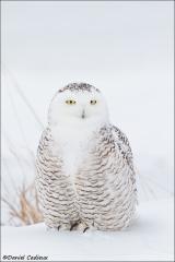 Snowy_Owl_2593-15