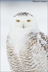 Snowy_Owl_2610-15