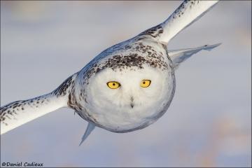 Snowy_Owl_3037-15
