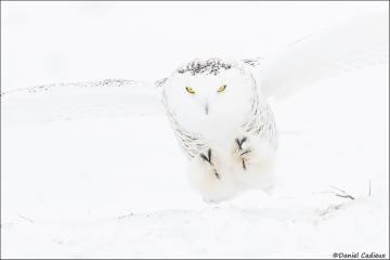 Snowy_Owl_3302-16