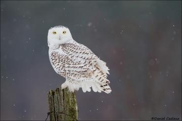 Snowy_Owl_6107-14
