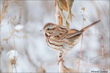 Song Sparrow_2554-17
