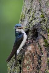 Tree_Swallow_3311-17