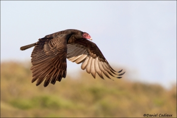 Turkey_Vulture_0807-09