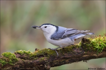 White-breasted Nuthatch_2197-17