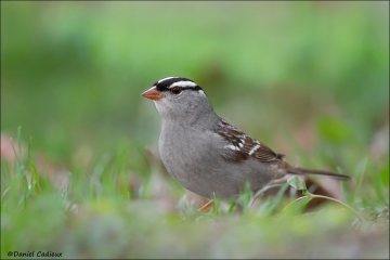 White-crowned_Sparrow_0993-14
