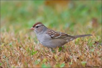 White-crowned_Sparrow_4488-14